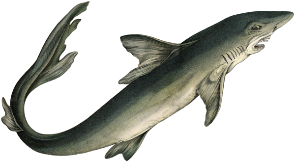 Transparent Fish Fish Shark Fin Clipart for Animals