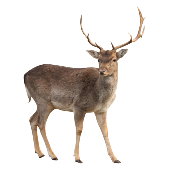 Transparent Deer Deer Wildlife Antler Clipart for Animals