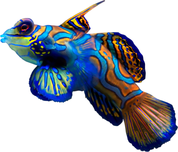 Transparent Fish Fish Coral Reef Fish Electric Blue Clipart for Animals