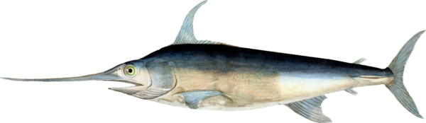 Transparent Fishing Fish Swordfish Billfish Clipart for Sports