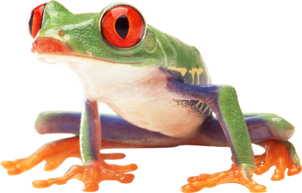 Transparent Frog Tree Frog Frog Toad Clipart for Animals