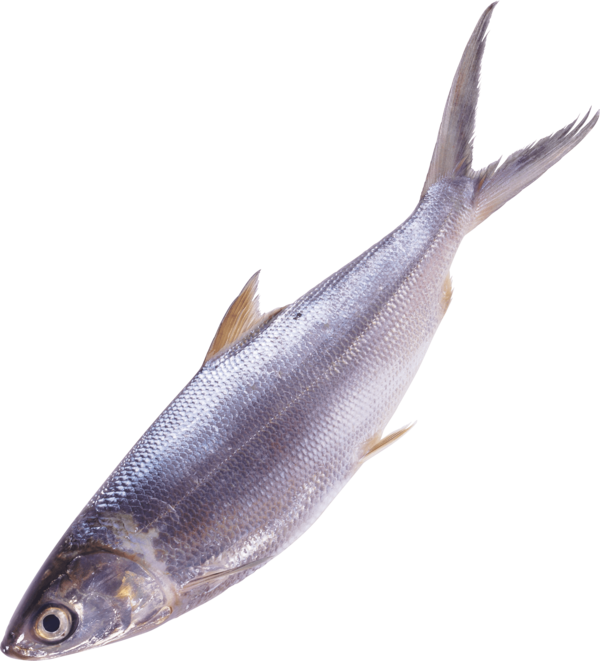 Transparent Fishing Fish Fin Seafood Clipart for Sports