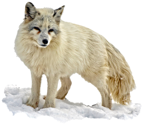 Transparent Bear Wildlife Fox Wolf Clipart for Animals
