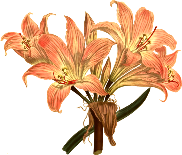 Transparent Lily Flower Plant Lily Clipart for Flowers