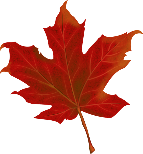 Transparent Anniversary Maple Leaf Leaf Plant Clipart for Occasions