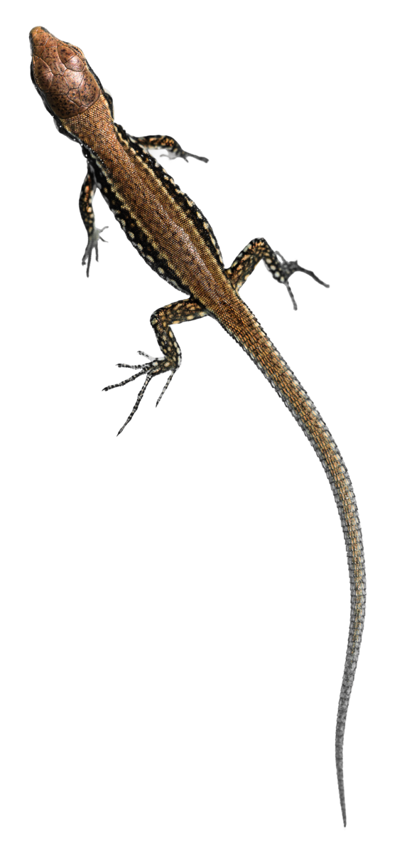 Transparent Lizard Reptile Lizard Scaled Reptile Clipart for Animals