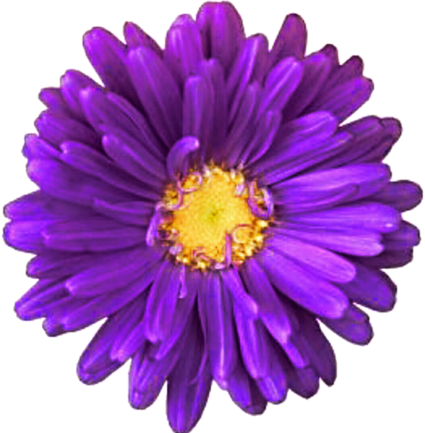 Transparent Daisy Flower Violet Aster Clipart for Flowers