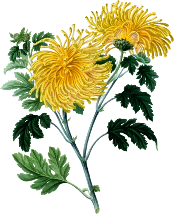 Transparent Daisy Flower Plant Oxeye Daisy Clipart for Flowers