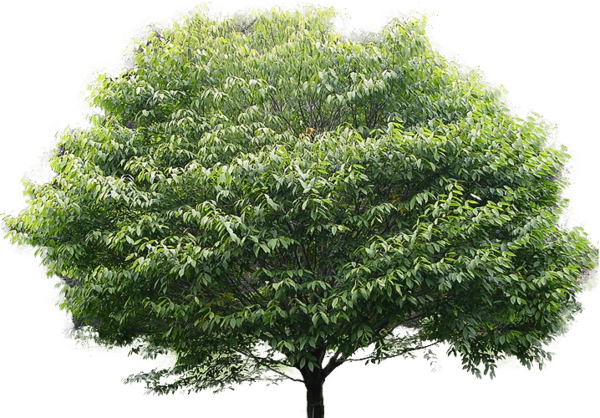 Free Magnolia Tree Woody Plant Leaf Clipart Clipart Transparent Background