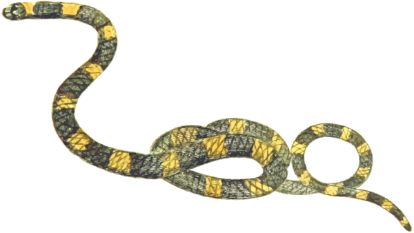 Transparent Snake Reptile Snake Scaled Reptile Clipart for Animals