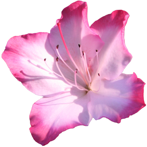 Transparent Family Flower Petal Azalea Clipart for People