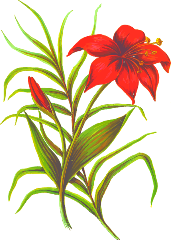 Transparent Lily Flower Plant Cut Flowers Clipart for Flowers