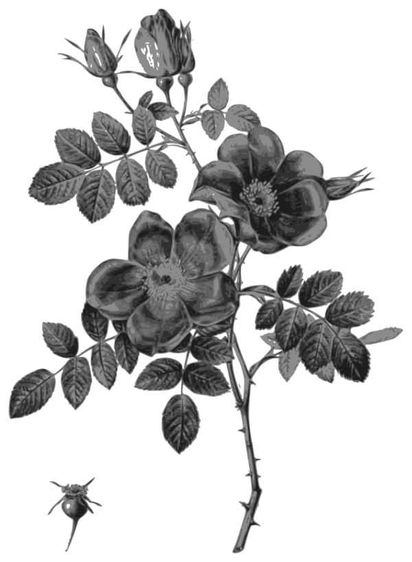 Transparent Rose Flower Flora Black And White Clipart for Flowers
