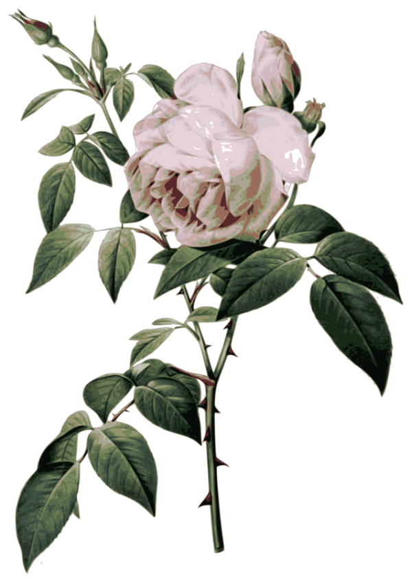 Transparent Peony Flower Plant Rose Family Clipart for Flowers