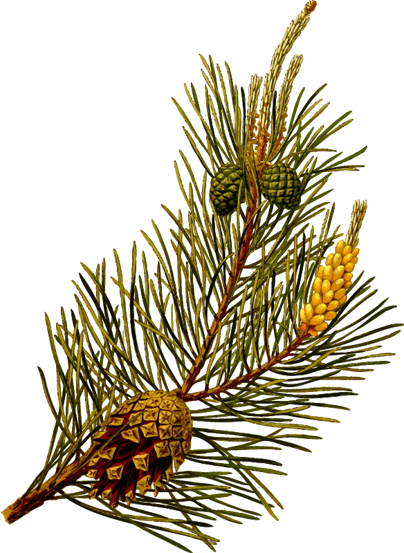 Transparent Tree Tree Pine Family Branch Clipart for Nature