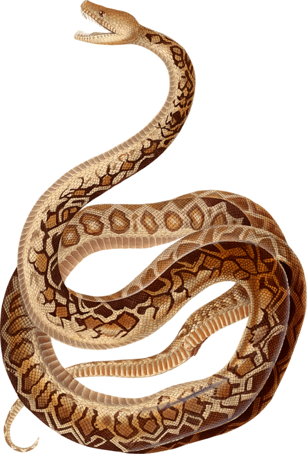 Transparent Snake Snake Scaled Reptile Reptile Clipart for Animals