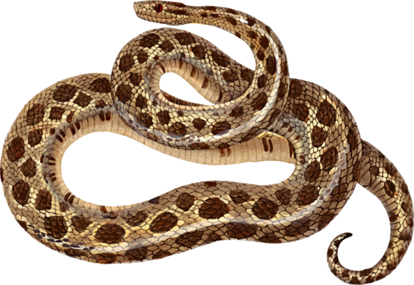 Transparent Snake Snake Reptile Scaled Reptile Clipart for Animals