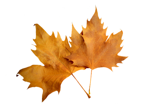Transparent Leaf Leaf Maple Leaf Clipart for Nature