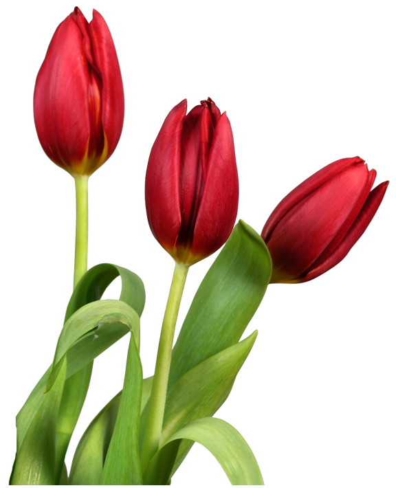 Free Lily Flower Tulip Plant Clipart Clipart Transparent Background
