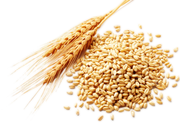 Wheat Cereal Clipart Stalk For Free And Use Pictures - Wheat Clipart Free,  HD Png Download , Transparent Png Image - PNGitem