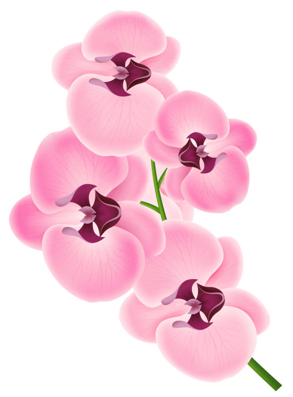 Transparent Orchid Flower Magenta Petal Clipart for Flowers