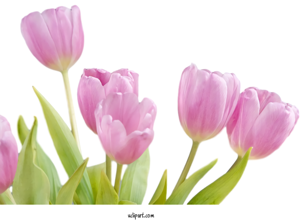 Transparent Flowers Flower Petal Tulip For Tulip for Flowers