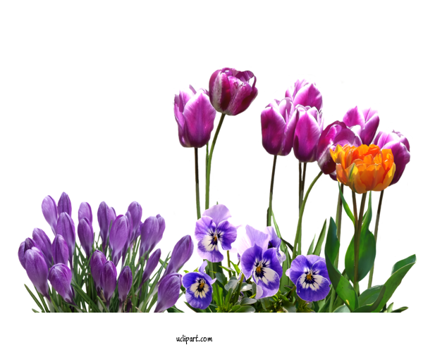 Transparent Flowers Flower Plant Purple For Tulip for Flowers