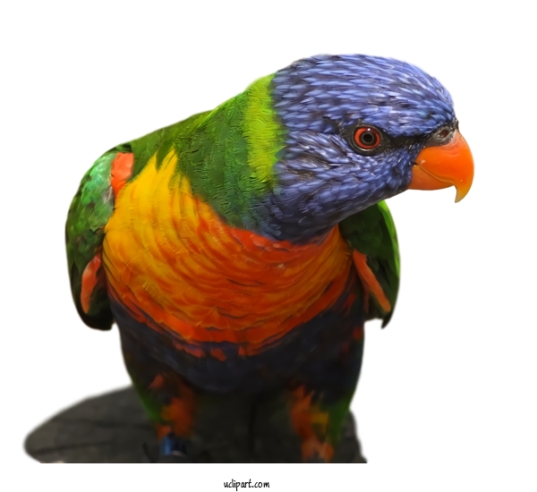 Transparent Animals Bird Lorikeet Parrot For Bird for Animals