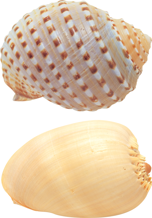 Transparent Snail Seashell Cockle Conch Clipart for Animals
