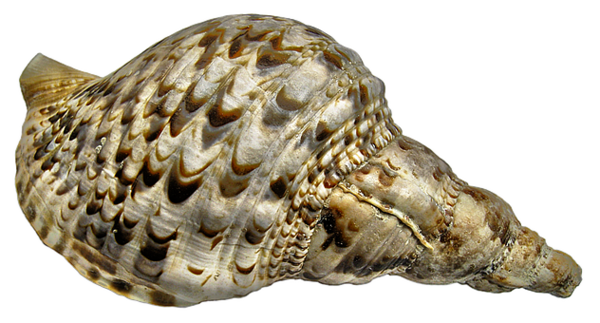 Transparent Snail Shankha Conch Seashell Clipart for Animals