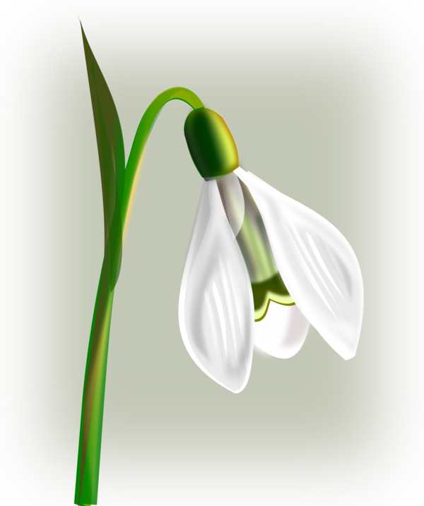 Transparent Plant Flower Galanthus Plant Clipart for Nature