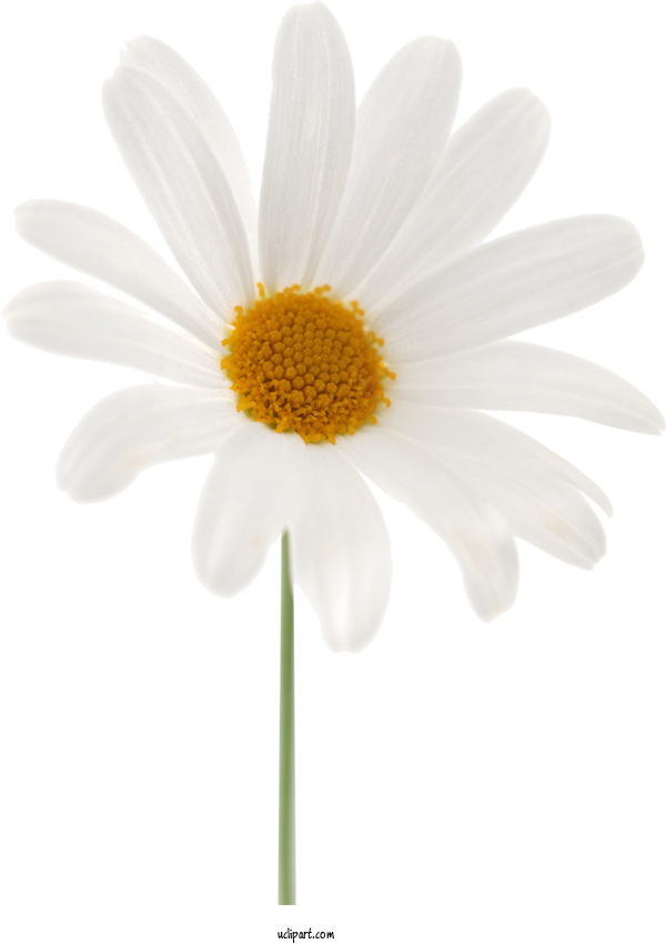 Transparent Flowers Common Daisy Oxeye Daisy Sticker For Marguerite for Flowers
