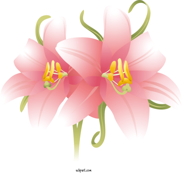 Transparent Flowers Flower Pink Summer For Lily for Flowers